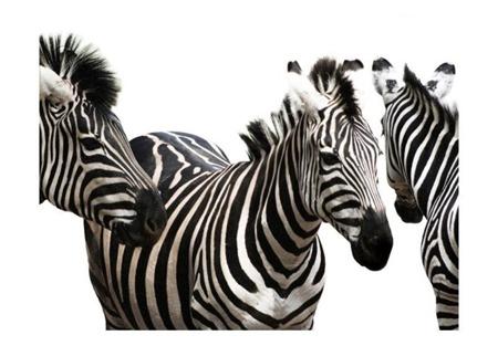 Fototapeta - Three zebras