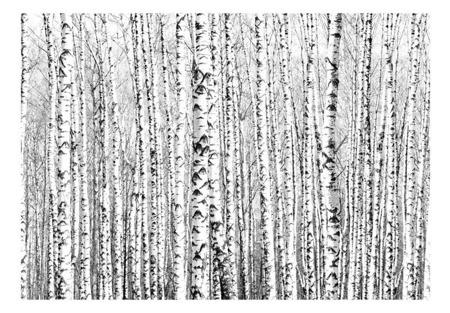 Fototapeta - Brzozowy las